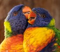 Closeup of two colorful birds.