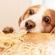 Cute beagle eating pasta.